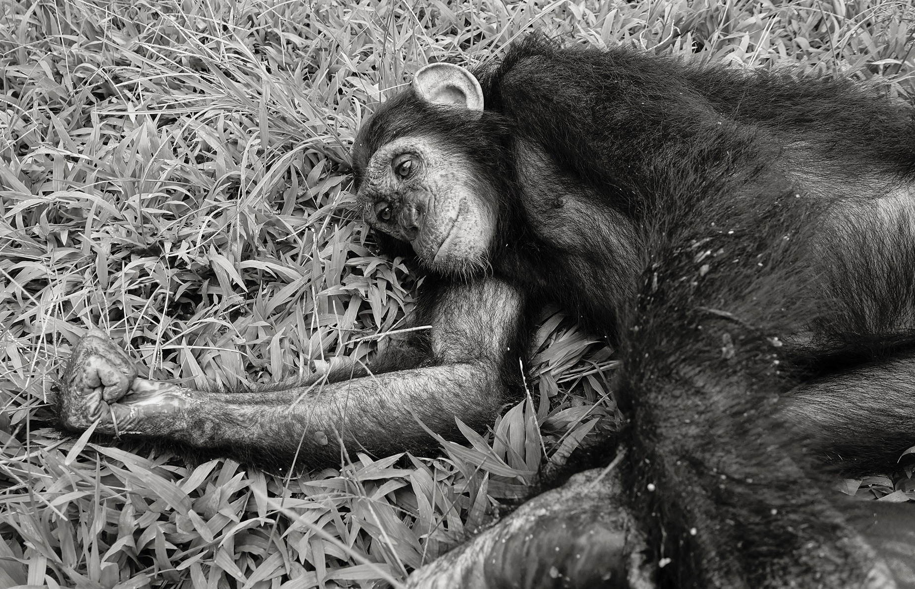 A young chimpanzee lies in the grass with an arm stretched out and head rest on its shoulder