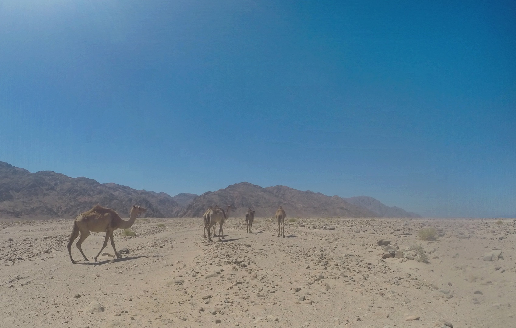 A wide angle view of three camels walking away in the desert with mountains in the background