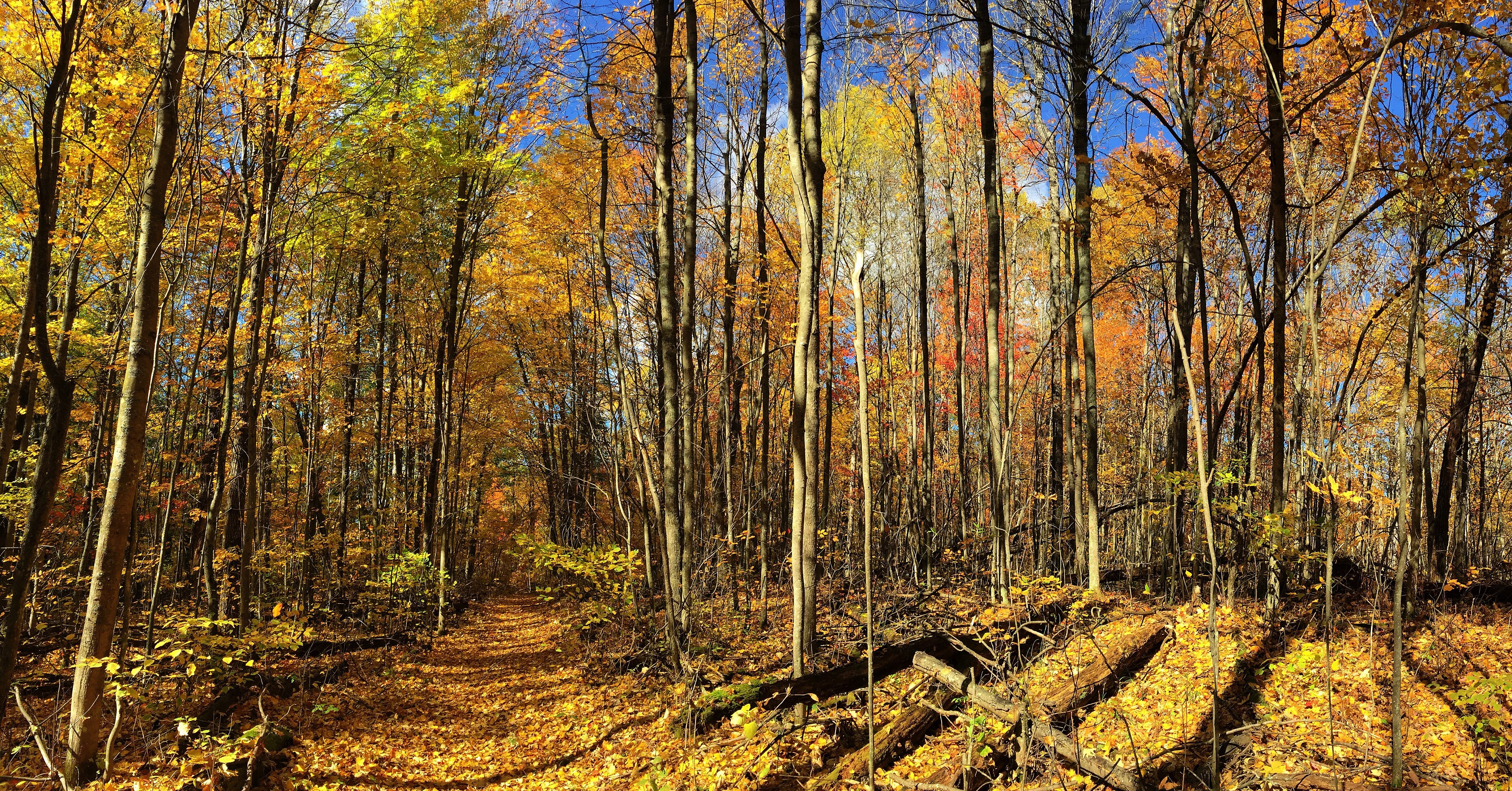 A trail through the woods covered with yellow fall leaves